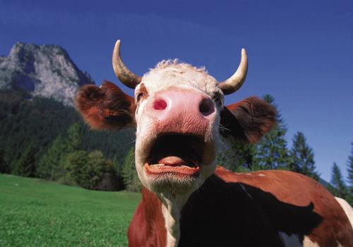 cow-blog.jpg