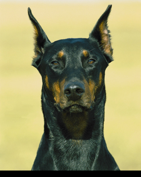 doberman stands watching Evil Doberman